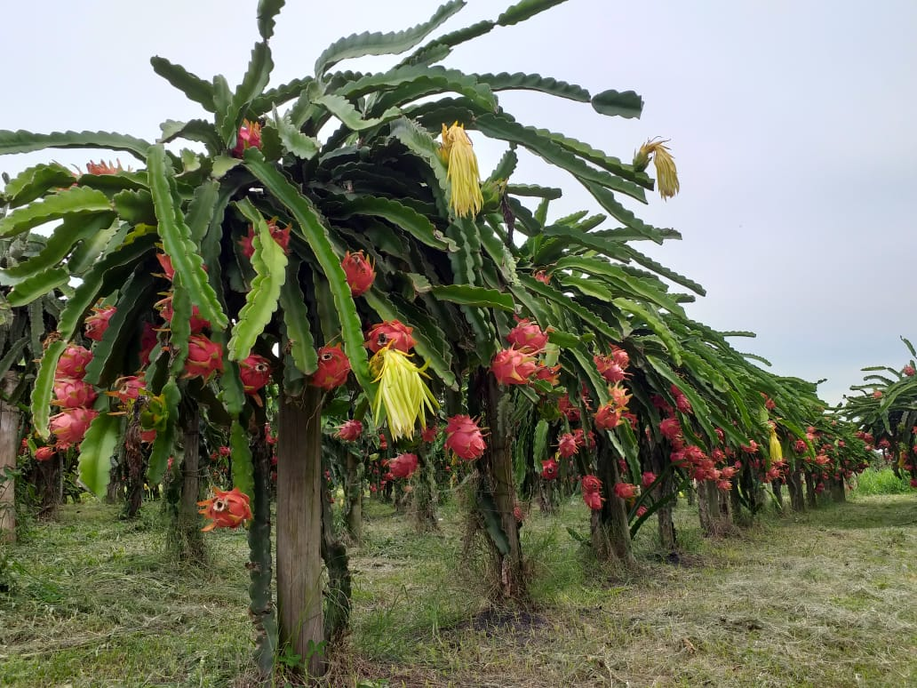 Pitaya: uma das fontes de renda do agricultor criciumense